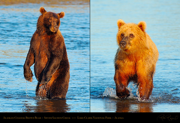 Alaskan_Coastal_Brown_Bear_XL