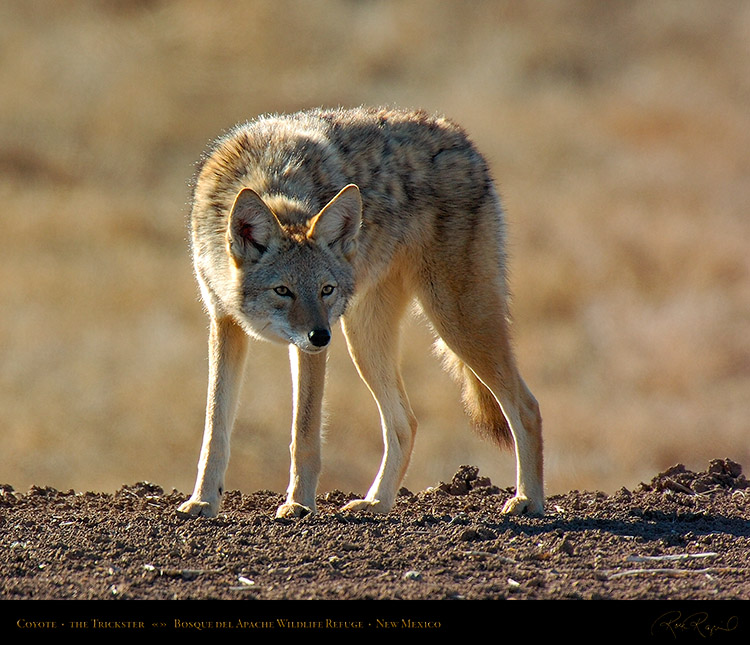 Coyote_Trickster_2522M