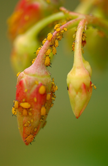 Aphids_7617