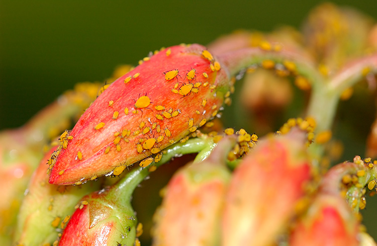 Aphids_7643