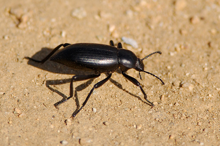 Black_Ground_Beetle_3784c