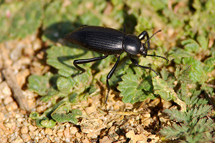 Black_Ground_Beetle_3788