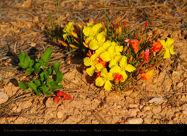 Evening_Primrose_Desert_Holly_Red_Canyon_X2171