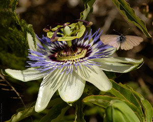 PassionFlower_Butterfly_2113