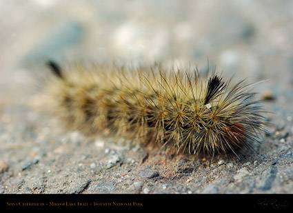 Spiny_Caterpillar_Mirror_Lake_Trail_3989