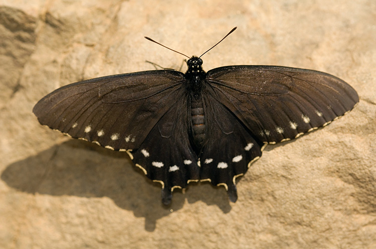 Pipevine_Swallowtail_X4410