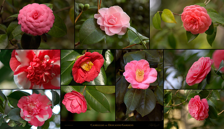 Camellias_of_DescansoGardens_SXXL