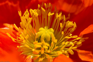 CalifPoppy_stamens_7937