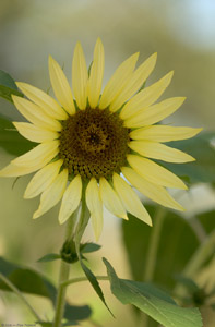Sunflower_4581