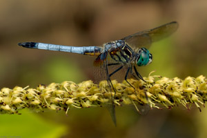 Dragonfly_6229