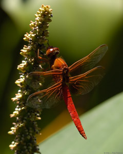 Dragonfly_6980