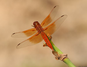 Dragonfly_8296