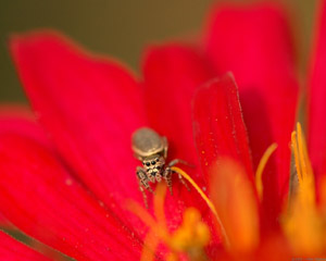 JumpingSpider_4162