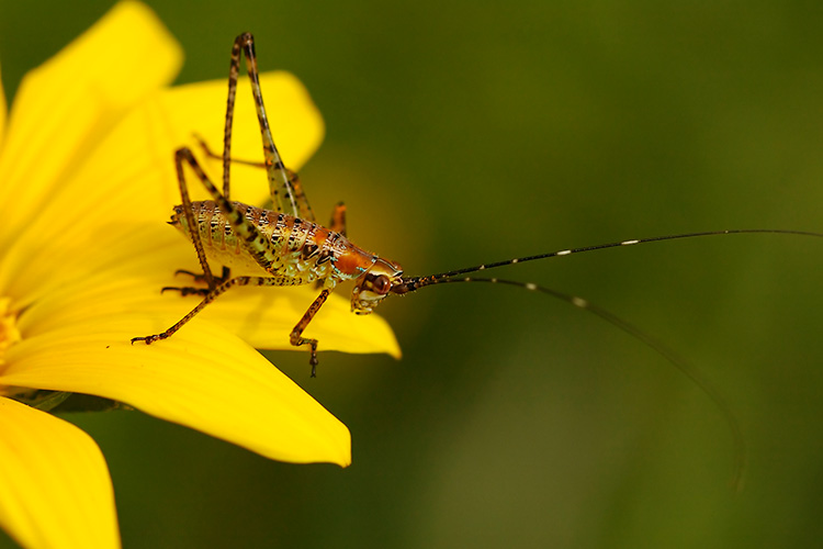 Katydid_Nymph_2472