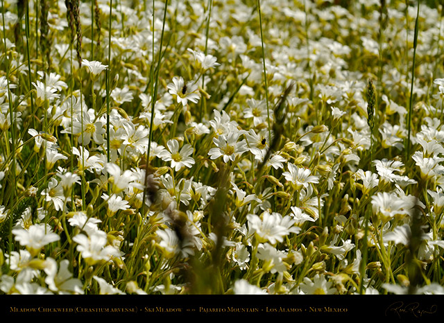 Meadow_Chickweed_X5527