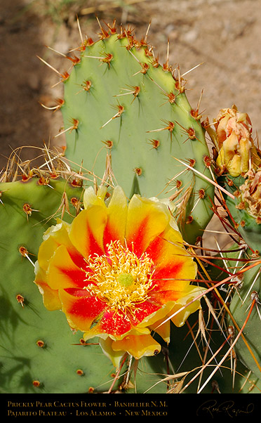 Prickly_Pear_X5227c