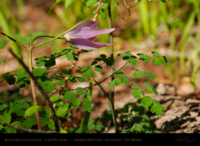 Rocky_Mountain_Clematis_X5109