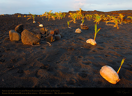 KaimuBeach_SproutedCoconuts_atSunrise_X0326