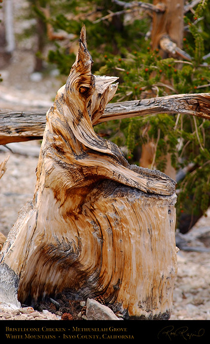 Bristlecone_Chicken_3230