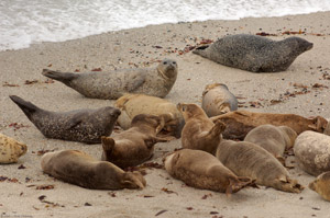 HarborSeals_X0297