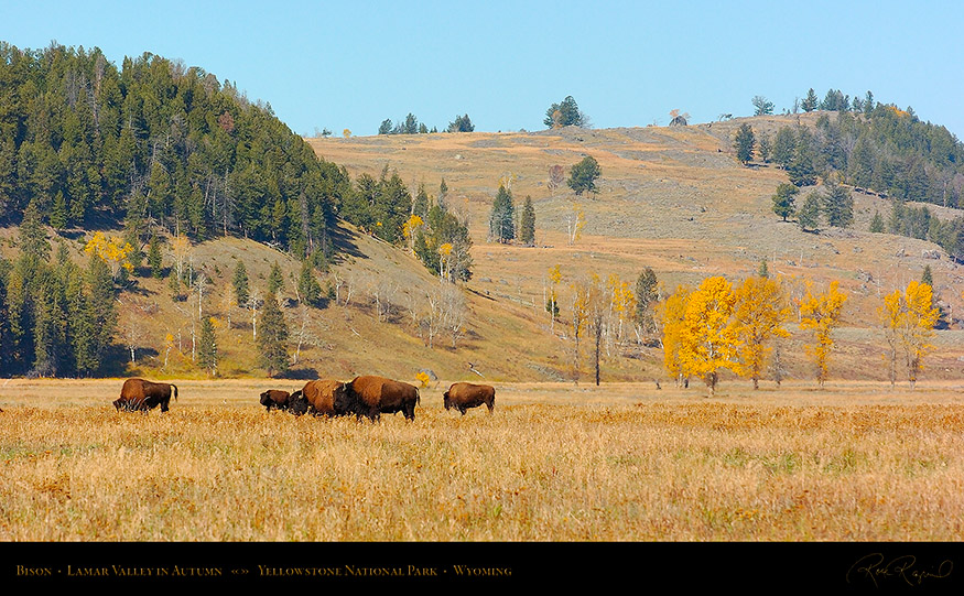 Bison_LamarValley_0764_16x9
