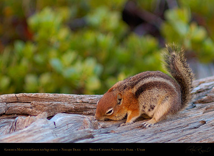 Golden-Mantled_Squirrel_Bryce_Canyon_X2016