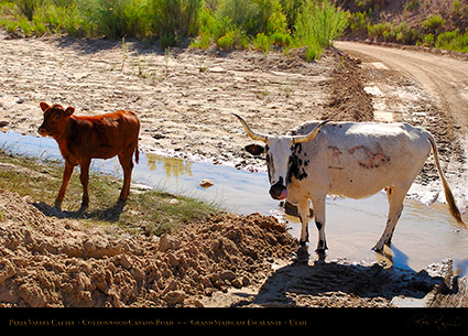 Paria_Valley_Cattle_6814