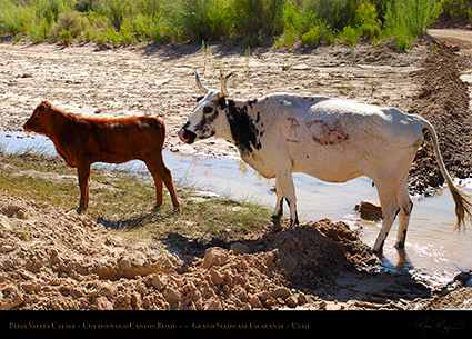 Paria_Valley_Cattle_6816