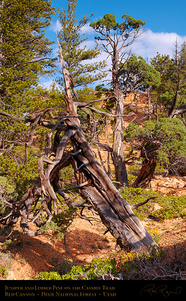 Red_Canyon_Juniper_Limber_Pine_Cassidy_Trail_X2186