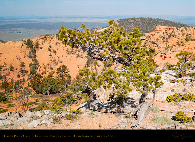 Red_Canyon_Limber_Pine_Cassidy_Trail_X2231