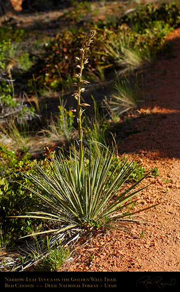 Narrow-leaf_Yucca_Red_Canyon_X5730