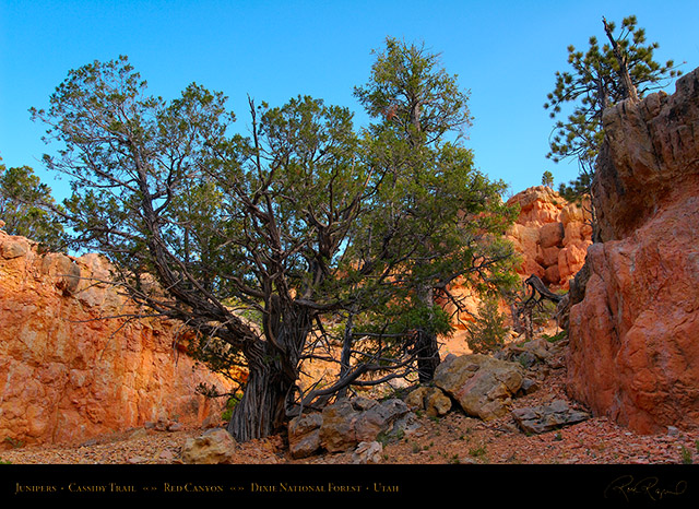 Red_Canyon_Junipers_Cassidy_Trail_X2191