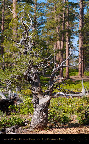 Red_Canyon_Limber_Pine_Cassidy_Trail_X2212