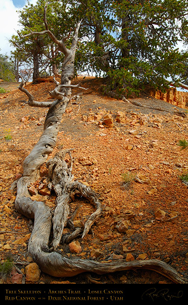 Red_Canyon_Tree_Skeleton_Arches_Trail_X2352