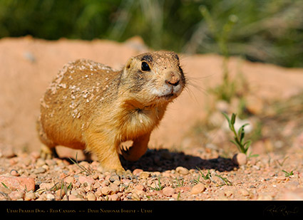 Utah_Prairie_Dog_Red_Canyon_X2255