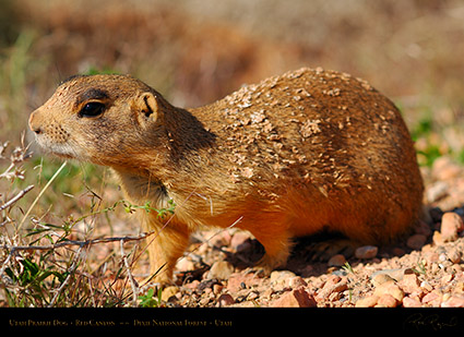 Utah_Prairie_Dog_Red_Canyon_X2285