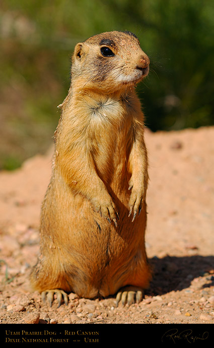Utah_Prairie_Dog_Red_Canyon_X2292
