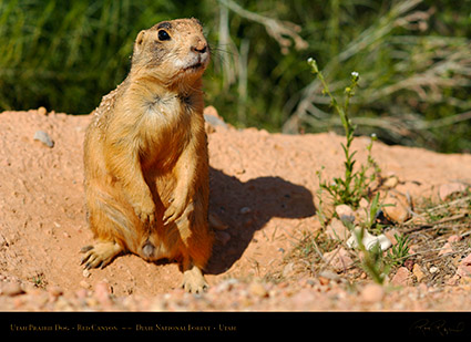Utah_Prairie_Dog_Red_Canyon_X2254