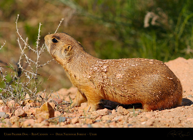 Utah_Prairie_Dog_Red_Canyon_X2257