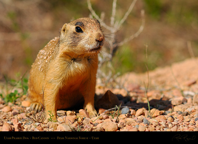 Utah_Prairie_Dog_Red_Canyon_X2259