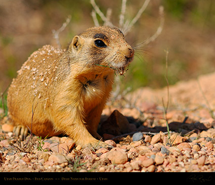 Utah_Prairie_Dog_Red_Canyon_X2260