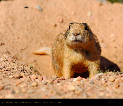 Utah_Prairie_Dog_Red_Canyon_X2273