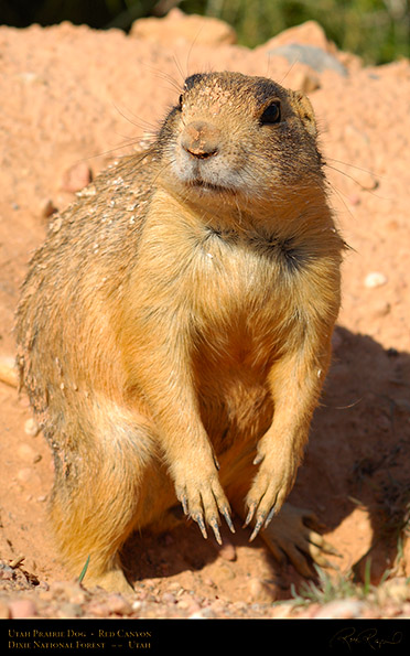 Utah_Prairie_Dog_Red_Canyon_X2277M