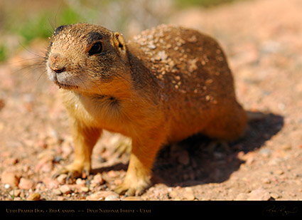 Utah_Prairie_Dog_Red_Canyon_X2284