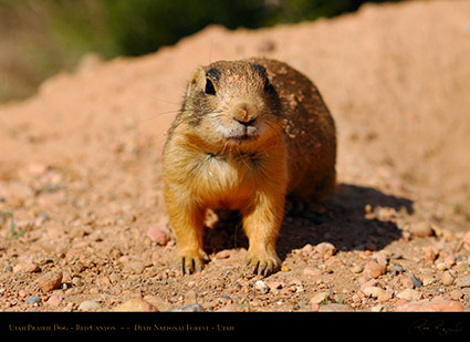 Utah_Prairie_Dog_Red_Canyon_X2286