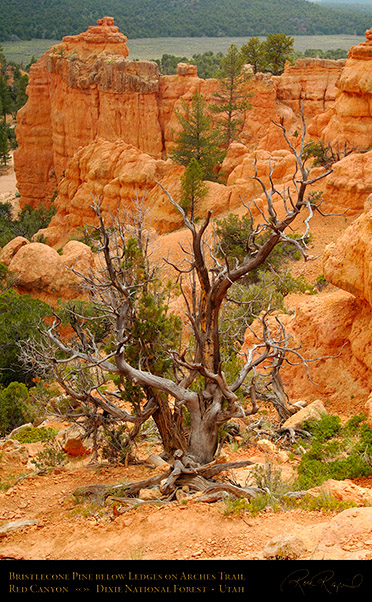 Red_Canyon_Bristlecone_Pine_Arches_Trail_X2308