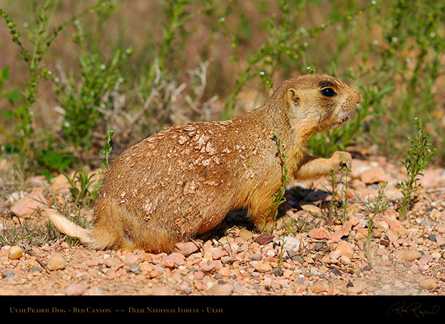 Utah_Prairie_Dog_Red_Canyon_X2253