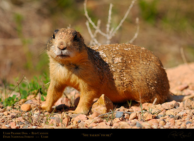 Utah_Prairie_Dog_Red_Canyon_X2258