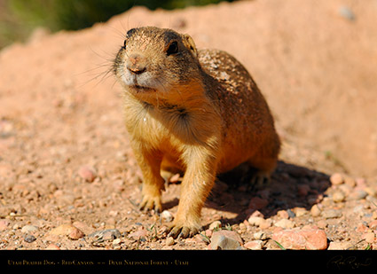 Utah_Prairie_Dog_Red_Canyon_X2281