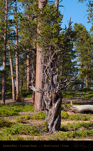 Red_Canyon_Limber_Pine_Cassidy_Trail_X2211